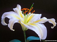 Lily Flowers21 pics
